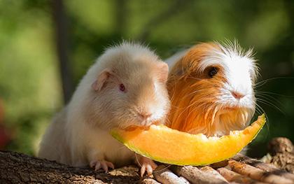 Co mogą jeść świnki morskie?